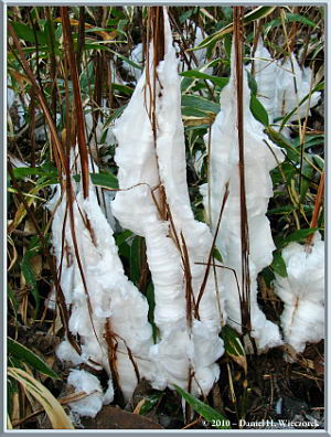 Frost Flowers extruded from the stems of Keiskea japonica