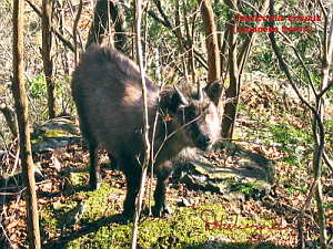 Japanese Serow (Capricornis crispus) February 4 (1.1 MB JPG File)