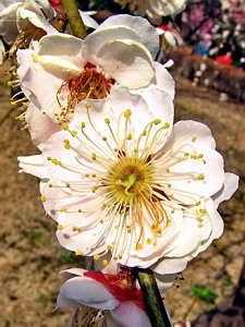 A Plum Blossom Extreme Macro-Photo (608 KB JPG File)