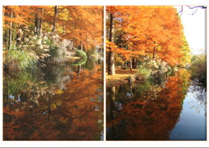Fall Color - Bald Cypress Reflection on Pond, November 25 (1.2 MB JPG File)