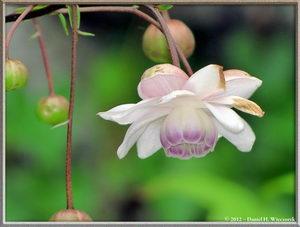 Mt. Mitake Rengeshouma - Anemonopsis macrophylla