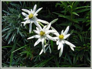 Oze National Park - Edelweiss - <I>Leontopodium fauriei</I> var. <I>angustifolium</I> (601 KB JPG File)