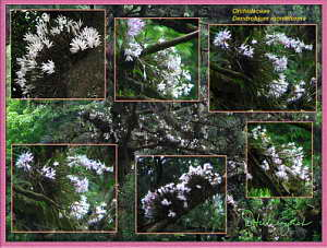 Dendrobium moniliforme Orchid Collage - Mt. Takao, June 2006 (1.3 MB JPG File)
