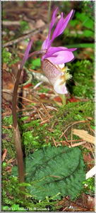 Rotate Patch Yatsugatake Calypso bulbosa var speciosa