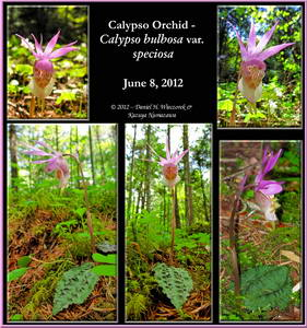 5 Photo Calypso Orchid Collage