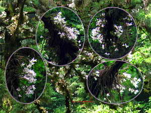Dendrobium moniliforme Orchid Collage - Mt. Takao, June 2005 (1.6 MB JPG File)