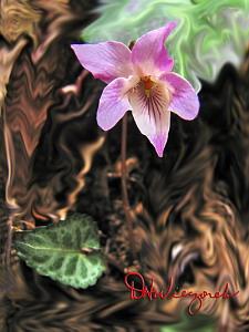 Viola tokubuchiana var. takedana f. variegata