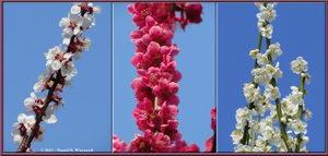 Three Plum Branches - Kyodonomori Park (Bubaigawara)