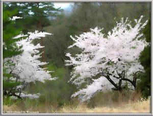 Sabane-yama (Yamagata Prefecture, Funagata Town) Cherry Blossoms