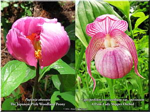 A Rare Japanese Pink Woodland Peony and a Rare Lady Slipper Orchid