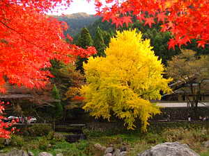 Beautiful Fall Color Ginkgo & Red Maples, Nov 2005 (950 KB JPG File)