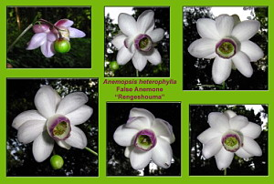An Anemonopsis macrophylla Collage at Mt. Mitake, August 5 (549 KB JPG File)