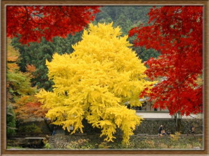 Beautiful Ginkgo Tree With Red Maples in the Foreground, Nov 2002 (1.4 MB JPG File)