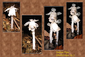 Monotropa sp. (Indian Pipe) Collage at Mt. Mitake, July 5 (1.3 MB JPG File)