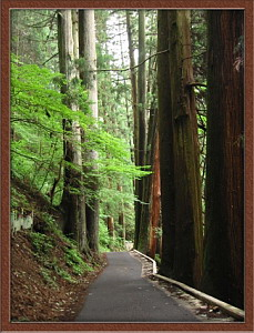Huge Cedar Trees on Mt. Mitake, July 2003 (1.8 MB jpg File)