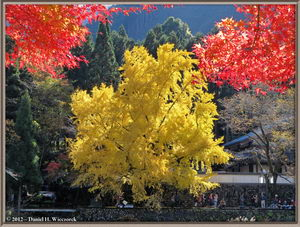 Mitake Fall Color The Famous Ginkgo Tree