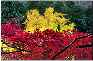 Autumn Colors, Famous Ginkgo Tree at Mitake, November 23