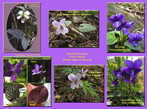 Our Porch Violets (Photos Taken in Wild), Image Created July 2006