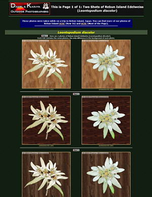 An Entire Page of Rebun Island Edelweiss (Leontopodium discolor), Aug 2009