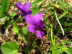 Beautiful Viola phalacrocarpa Photo, March 2006 (537 KB JPG File)