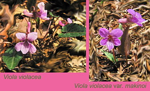 Viola violacea & Viola violacea var. makinoi Comparison, April 15