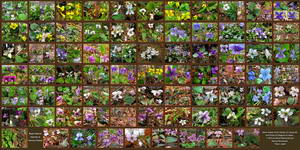 Amazing Collage - Most Of The Violets we Have Identified (14.8 MB JPG File)