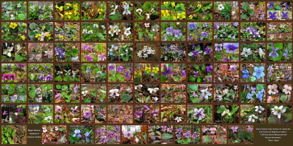 Huge_Violets_Collage_resize.jpg