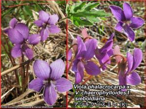 Viola_phalacrocarpa_x_Viola_chaerophylloides_f_sieboldiana.JPG