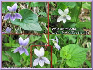 Viola_acuminata_WebRC.jpg