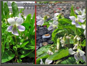 Viola_betonicifolia_var_albescensRC.jpg