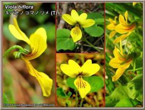 Viola_bifloraRC.jpg