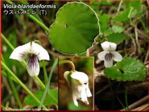 Viola_blandaeformisRC.jpg