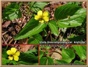 Viola_brevistipulata_var_kishidai.jpg