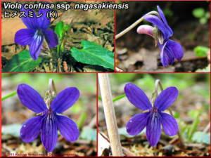 Viola_confusa_ssp_nagasakiensisRC.jpg