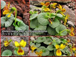 Viola_crassa_ssp_yatsugatakeanaRC.jpg