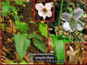 Viola_eizanensis_var_simplicifoliaRC.jpg