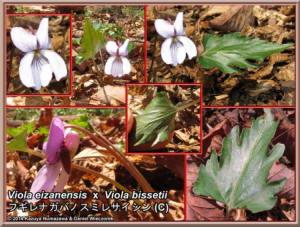 TN_Viola_eizanensis_x_bissetii_Fugire_Nagaba-no-Sumiresaishin_WebRC.JPG