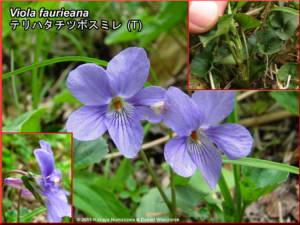 Viola_faurieanaRC.jpg