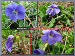 Viola_grayiRC.jpg