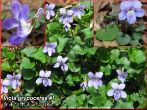 Viola_grypocerasRC.jpg