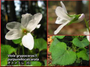 Viola_grypoceras_f_purpurellocalcarataRC.jpg