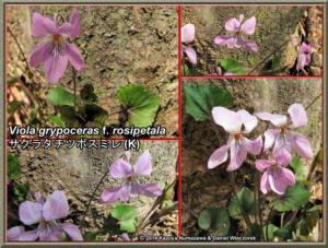 TN_Viola_grypoceras_f_rosipetala_NewRC.JPG