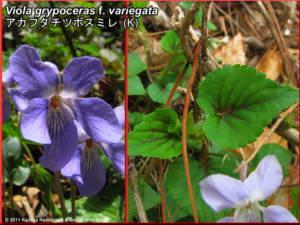 Viola_grypoceras_f_variegataRC.jpg