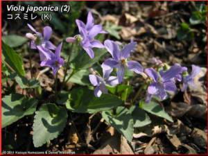 Viola_japonica_2RC.jpg