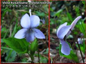 Viola_kusanoana_x_Viola_rostrataRC.jpg