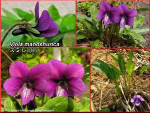 Viola_mandshurica_2RC.jpg