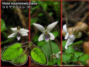Viola_maximowiczianaRC.jpg
