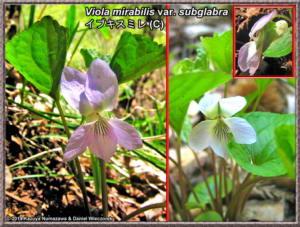 Viola_mirabilis_var_subglabraRC.jpg