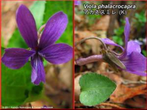 Viola_phalacrocarpaRC.jpg
