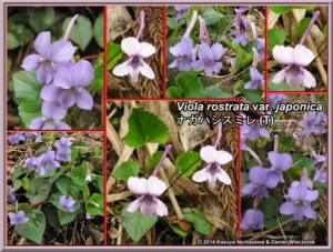 Viola_rostrata_var_japonicaRC.jpg